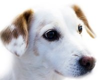 young white-coated dog