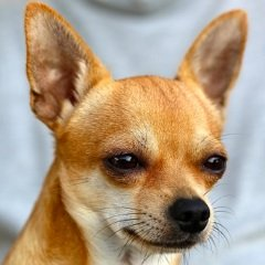 image of chihuahua dog breed