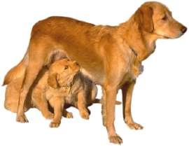 canine pregnancy calendar