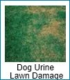 lawn care and dog urine damage