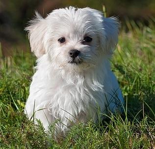 maltese dog in grass