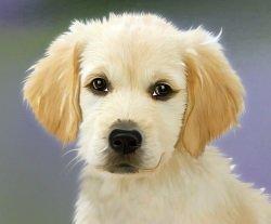 young golden retiever puppy