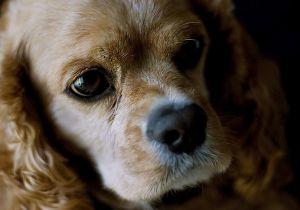 cocker spaniel eyes, dry eye in dogs