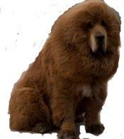 rare dog breed tibetan mastiff