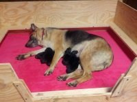 image of whelping box with dog and puppies