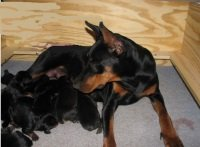 image of large dog and puppies in nesting box
