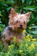 miniature yorkshire terriers