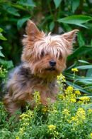 miniature yorkshire terriers