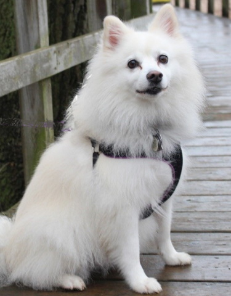 American Eskimo dog breed image