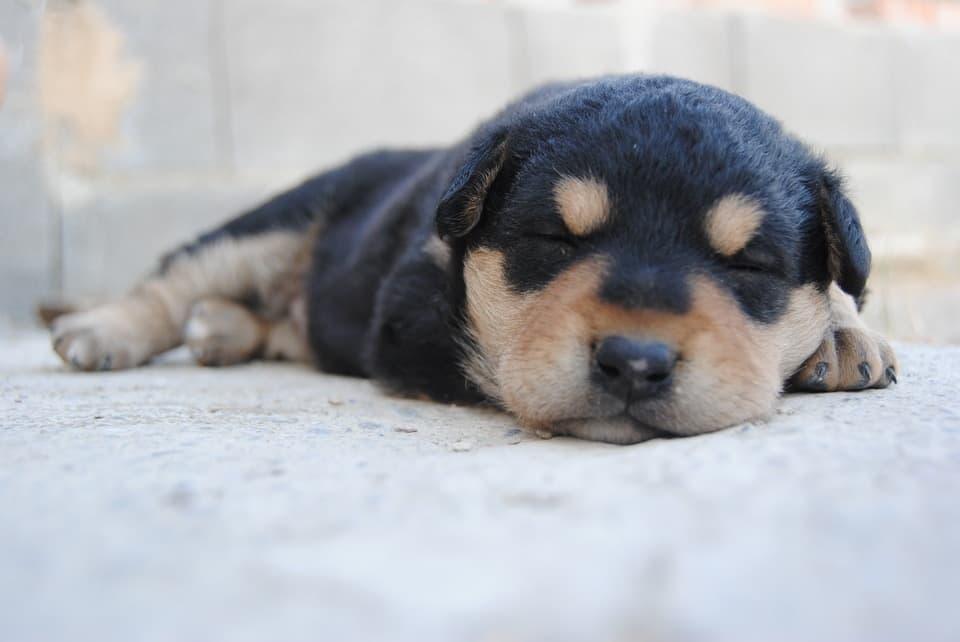 black and tan puppy lying down asleep