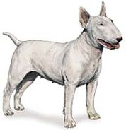 bull terrier dog breed image