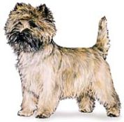 cairn terrier dog breed image aka Toto