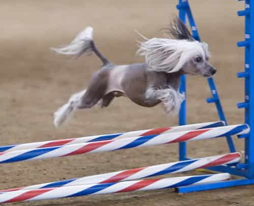 Chinese Crested agility