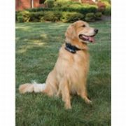 dog wearing gps collar