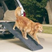 Golden Retriever using vehicle dog ramp