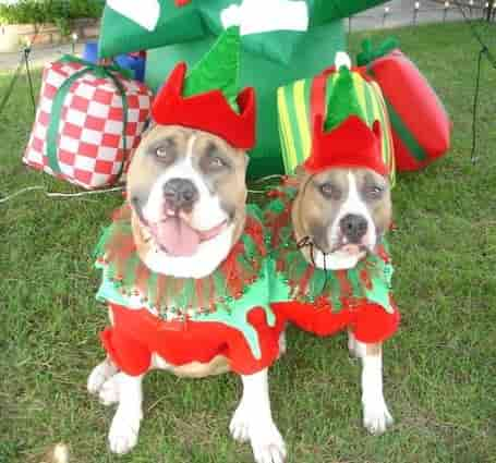 two American staffordshire terriers dressed up in costumes for a party.