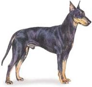 image of manchester terrier dog breed