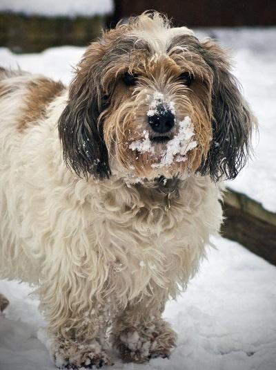 petit bassett griffon in the snow