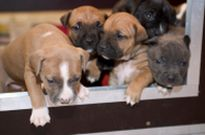 puppies in whelping box