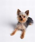 yorkshire-terrier-puppy