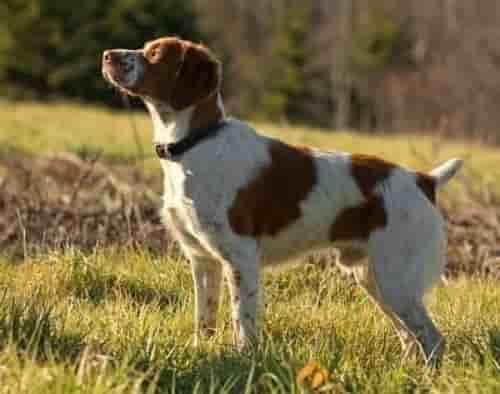 American Brittany dog