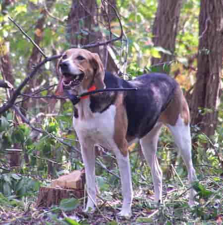 American foxhound standing in wooded terrain