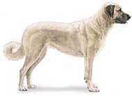 Anatolian shepherd dog generic image