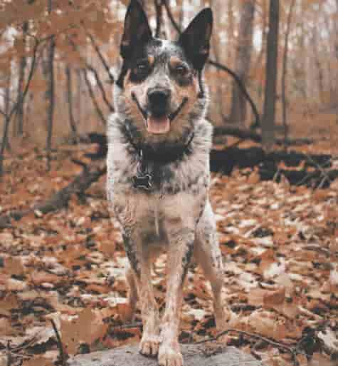 Blue Heeler standing in the woods