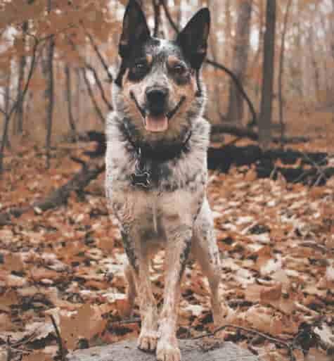 Blue Heeler standing in the woods