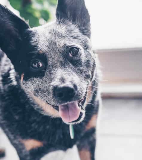 Australian Cattle Dog head and shoulders portrait