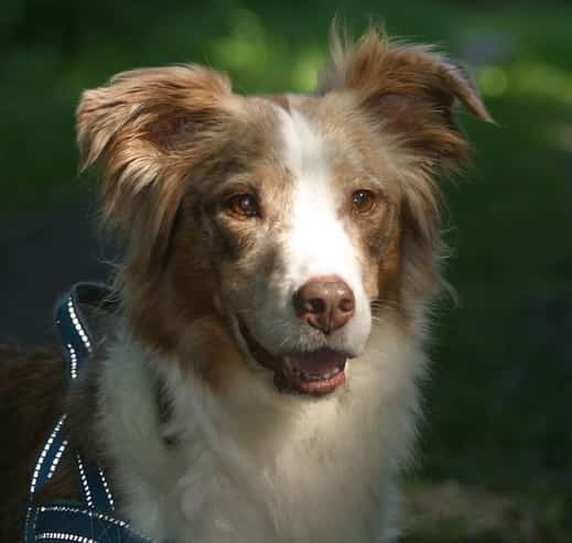 Australian shepherd dog red merle