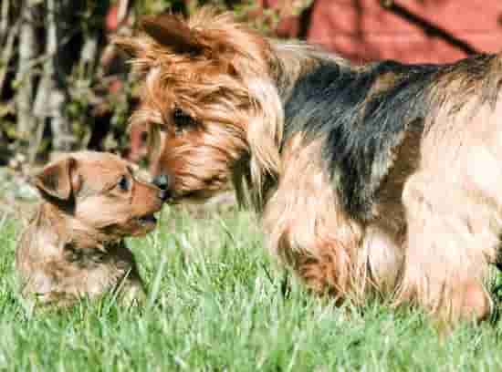 Australian Terrier with her puppy outside in the grass