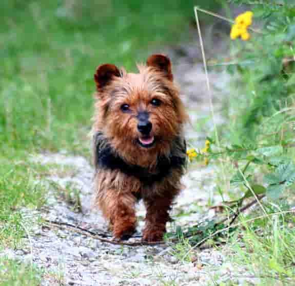 Australian terrier dog outside on a rustic path