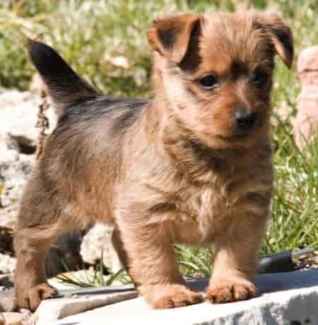 Australian Terrier puppy standing outside on a flagstone