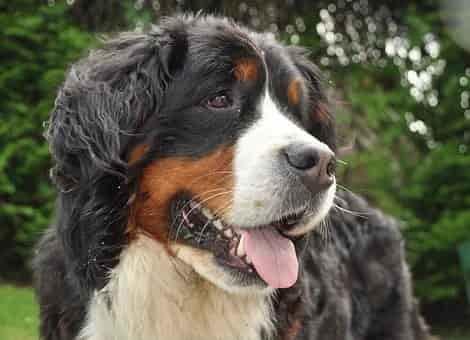 Bernese dog breed