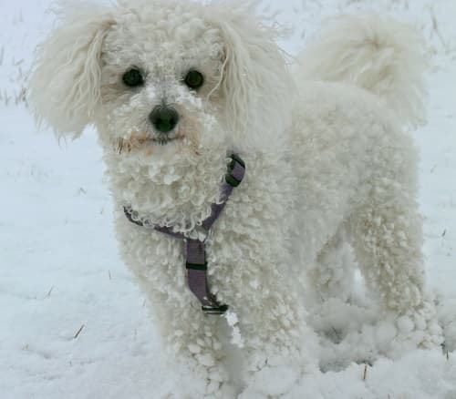 Bichon Frise standing in the snow