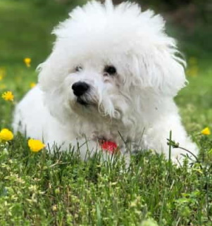 Bichon Frise dog lying outside in the grass
