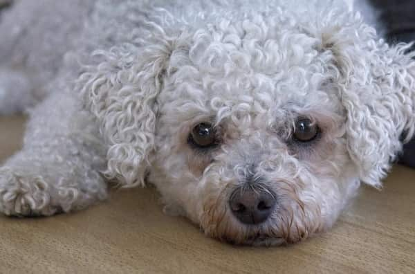 close up head shot of bichon frise