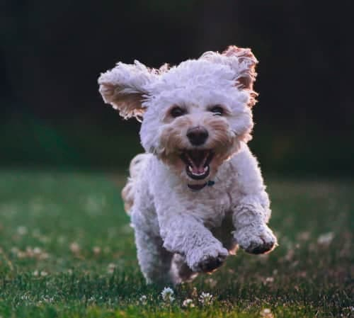 bichon frise running through the grass