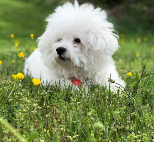 Bichon Frise lying down in field of grass and yellow flowers