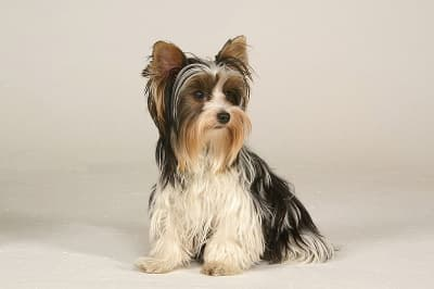 Biewer Terrier dog breed