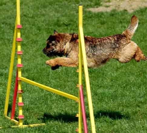 Border Terrier hurdling