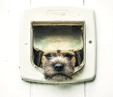Border Terrier at cat door