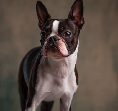Boston Terrier dog standing image