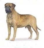 Bull Mastiff dog