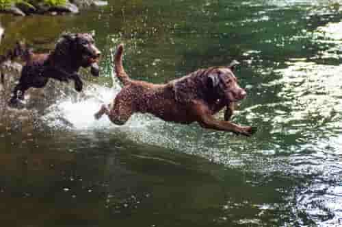 Chesapeake bay retrievers diving