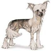 Chinese Crested Toy Dog Breed in standing position