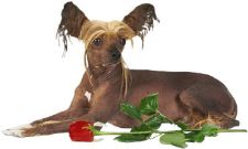 image of Chinese Crested Dog