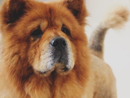Chow Chow Dog up close