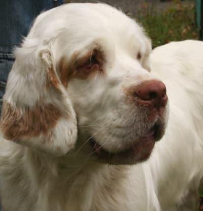 clumber spaniel dog
